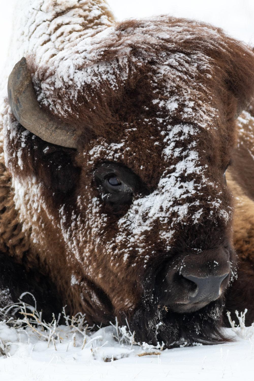 Bison-4192.jpg