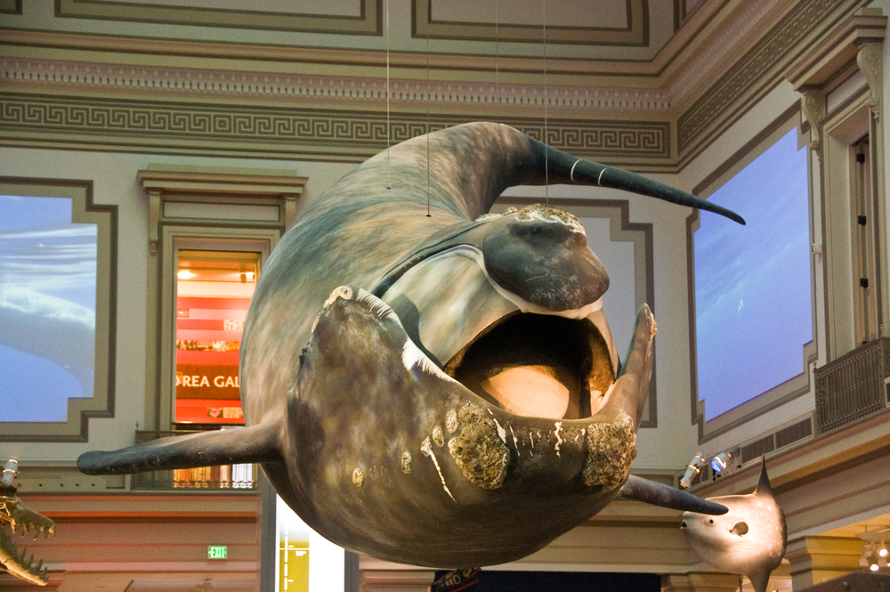 smithsonian whale full scale replica metal armature and fiberglass shell