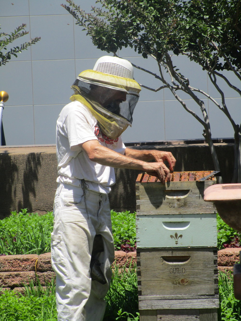 Beekeeper gathering honey at the Dallas Fairmont gardens