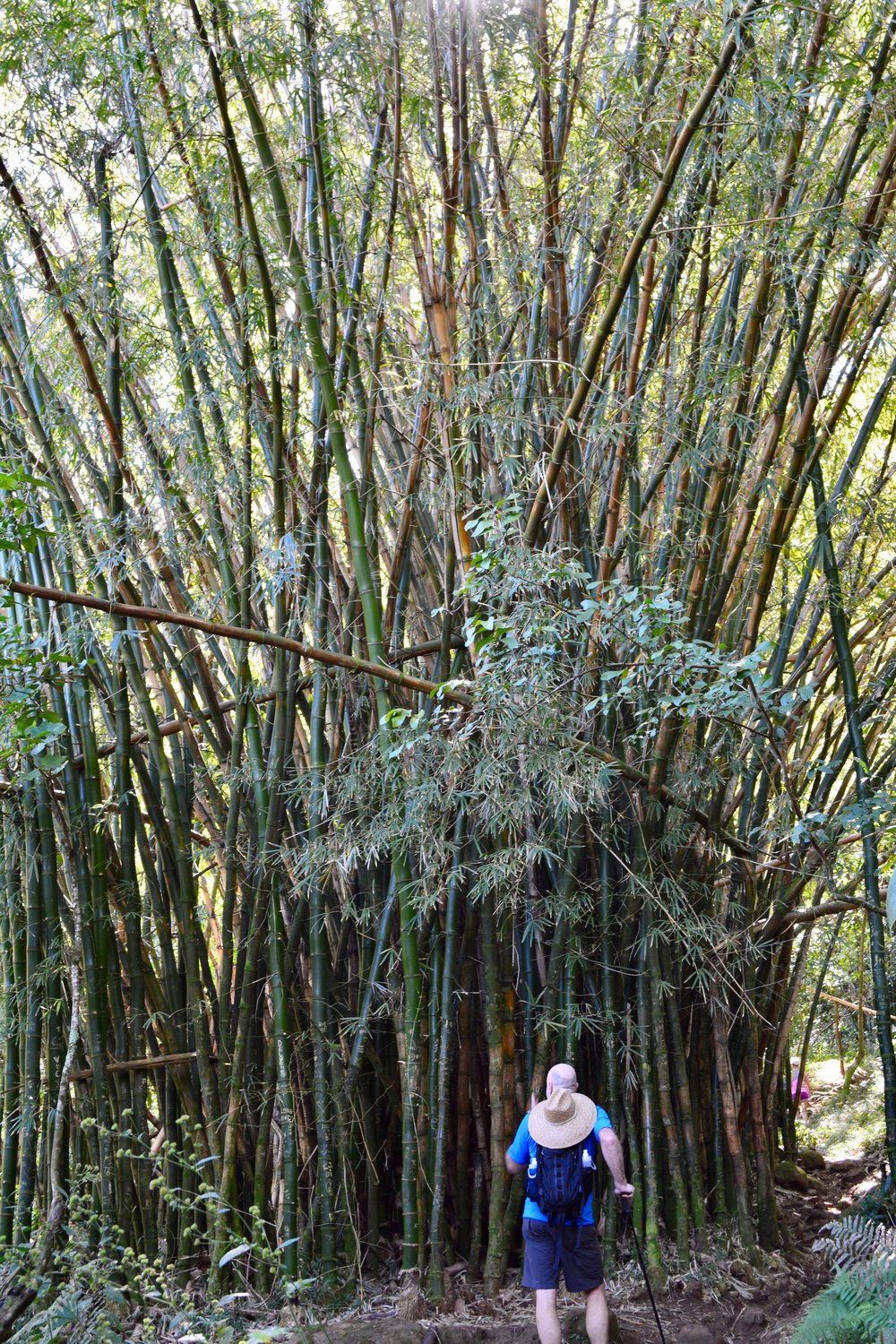 Ancient bamboo forest on trail.