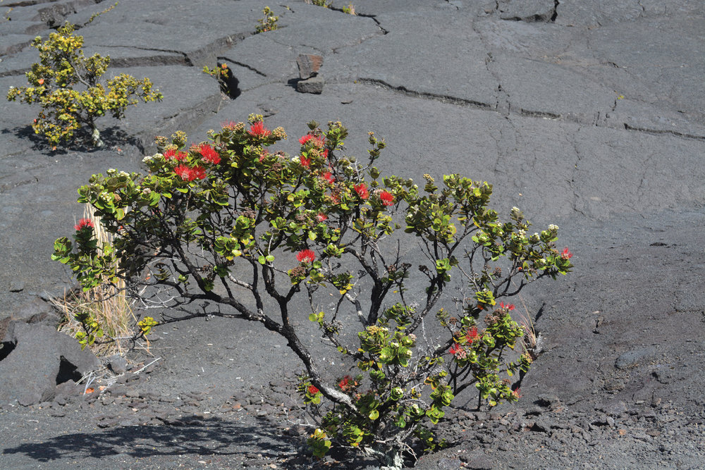 'Ohi'a Lehua; the lava-loving bush that grows out of the crags in Lava Lake. Hawaiian mythology says that picking the flowers can cause it to rain. Read the love story  here .