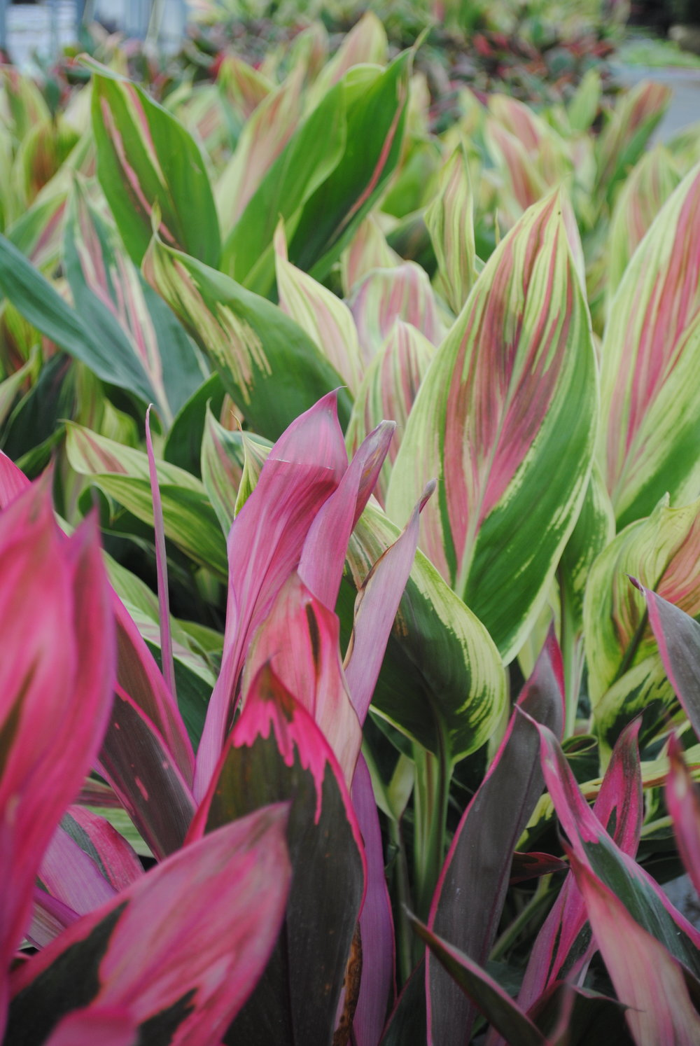 Cordyline is the perfect way to add lush, tropical color to your garden.