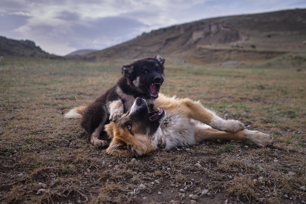 Caucas shepherd dogs fighting