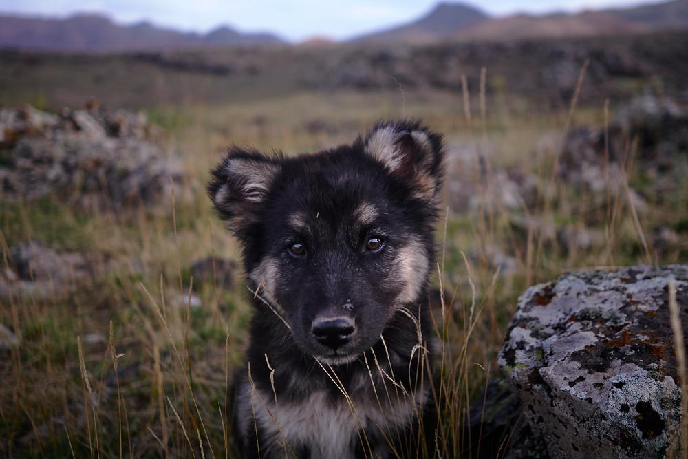 Caucas shepherd pup portrait