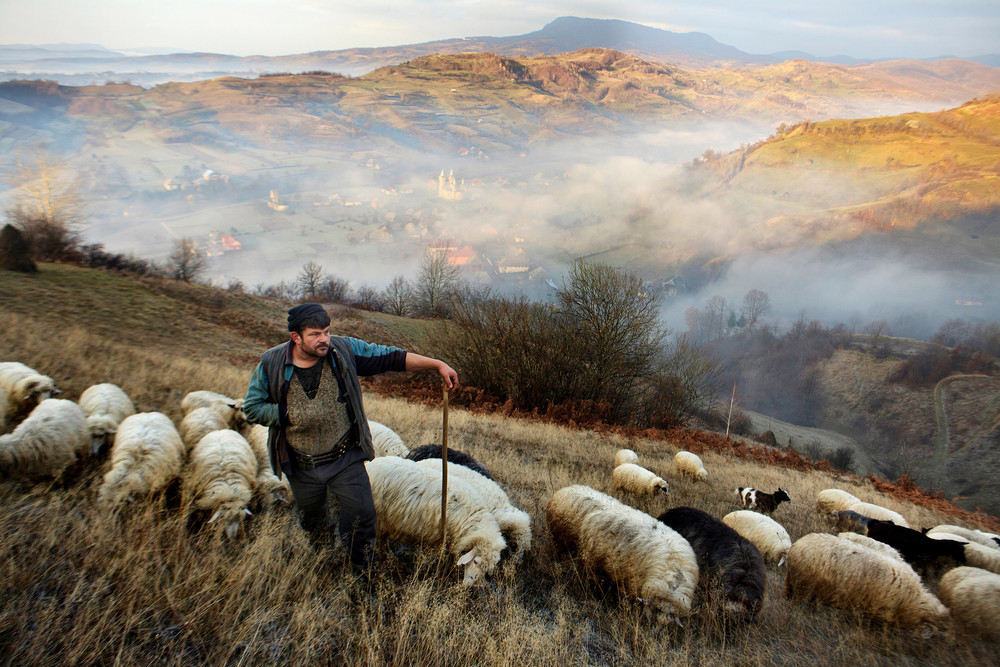 Romanian farmer with the villages sheep