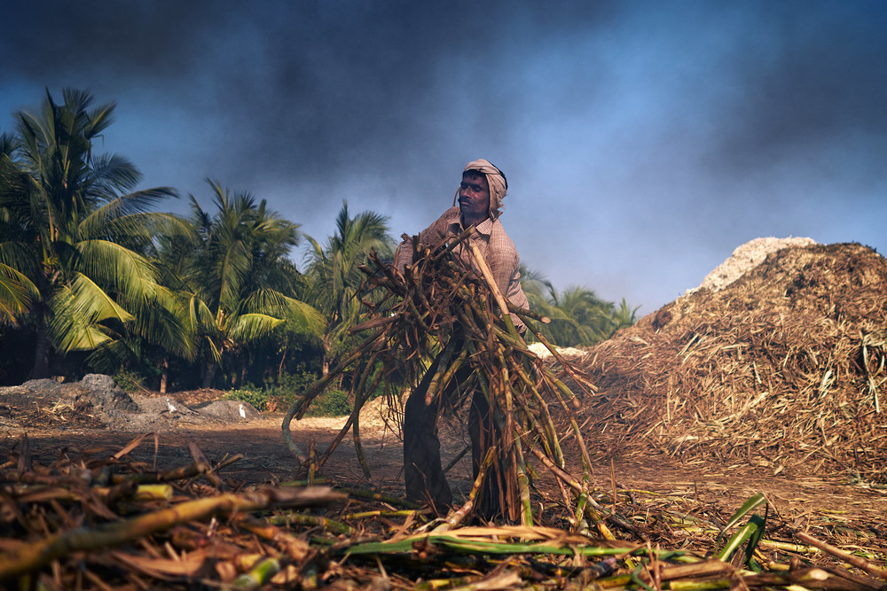 Sugarcane worker picking up a bunch of sugarcane