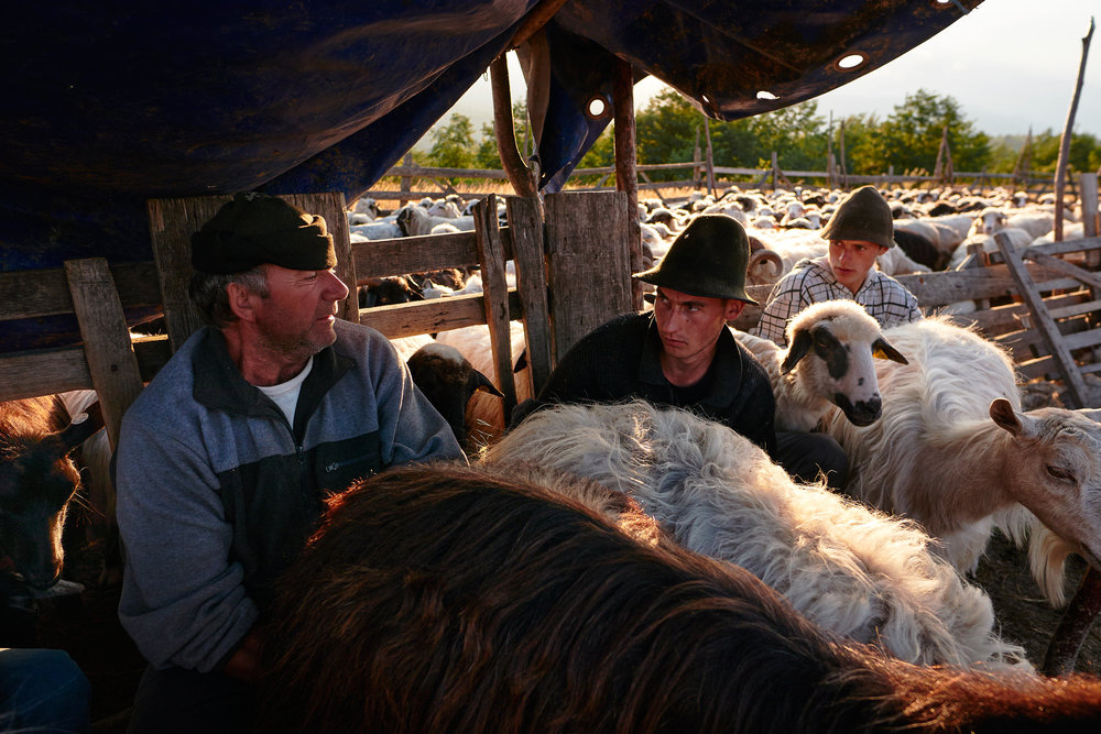 Shepherds-milking-sheep-and-goats-Maramures-Romania