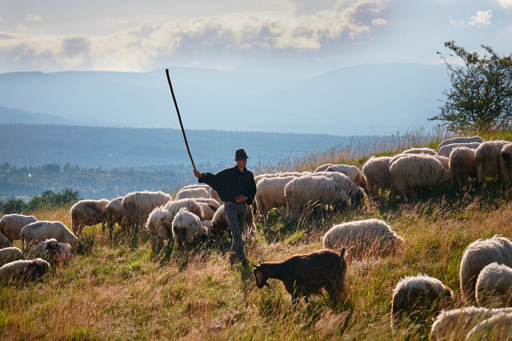 Shepherd-herding-sheep-and-goats-Maramures-Romania