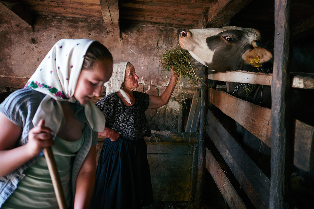 Young-girl-and-grandmother-feed-their-cow-Maramures-Romania