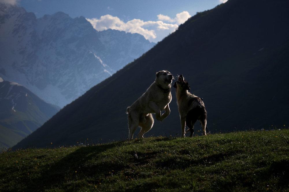 Svaneti-Ushguli-Georgia-dogs-playing