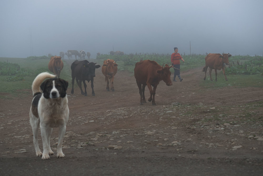 Bakhmaro-Georgia-dog-cows