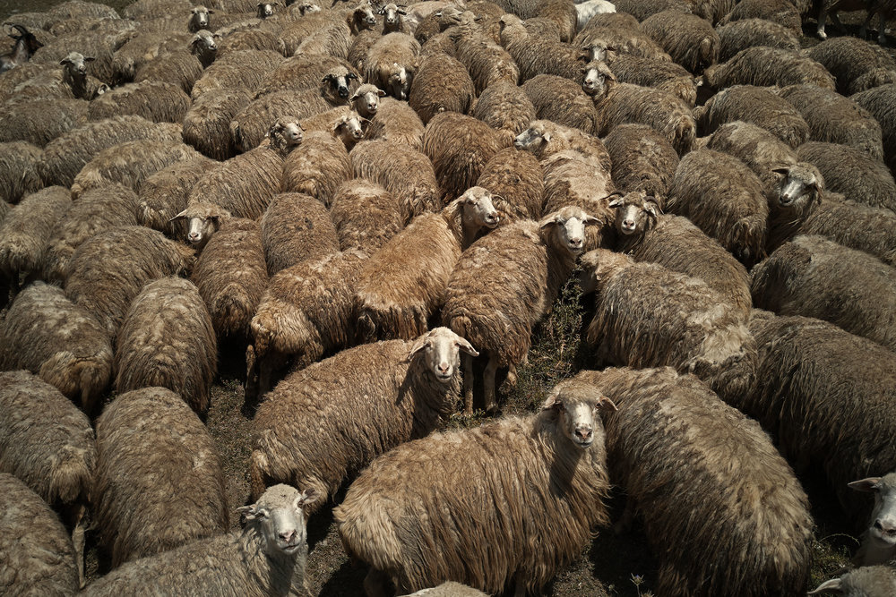 Tusheti-Georgia-sheep-from-drone-close-up
