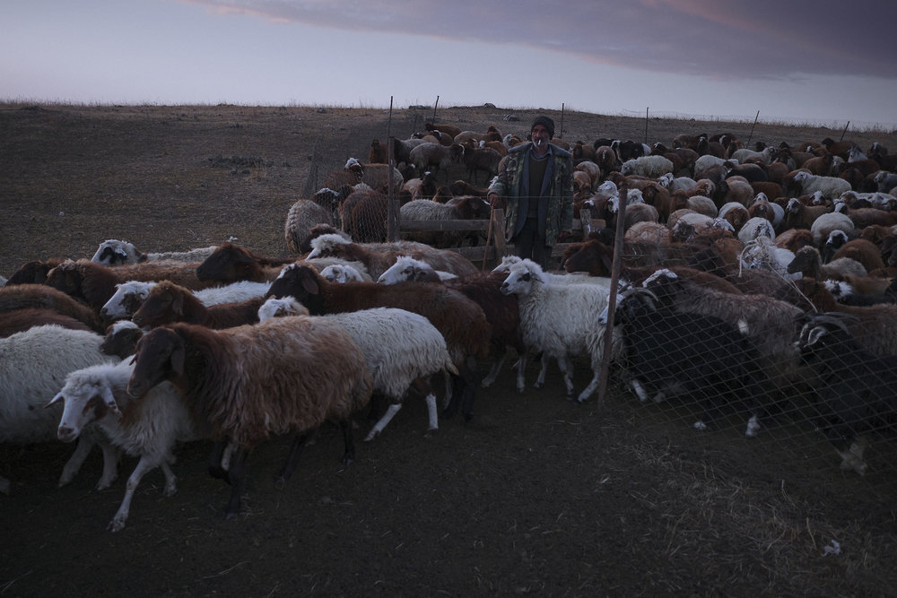 Yezidi shepherd with his sheep