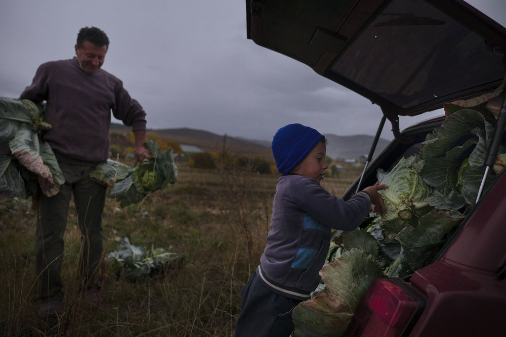 Grandfather and grandson packing cabbages