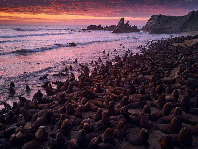 I told you in the last post that I was above a sea-lion colony… well, this is it. There were hundreds, maybe even over a thousand of them. It was cloudy all afternoon, but as the sun set, I got this spectacular sky!  This is shot with a drone. Sea-lions are extremely fearful of people. I have no idea why they don't care about drones. I flew right up to them and most didn't move away. A great, unexpected example of where a drone can be really beneficial in photography.  #Mavic #Iiescas #lobomaribo #Peru #beach #sealions #aerial #drone #camping #Toyota #Landcruiser #beautifulworld #lonelyplanet #dusk #bluehour #traveltheworld #instatravel #travelling #arountheworld #traveler #travelgram #wanderlust #adventure #view #travelphotography