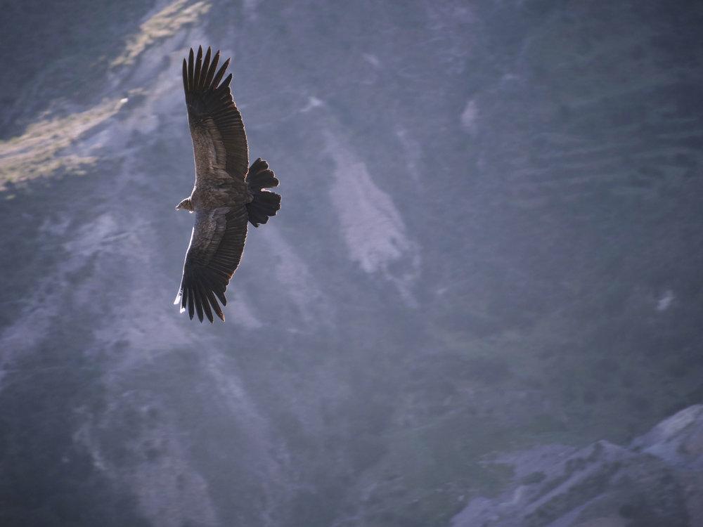 Condor flying in Ayacucho region
