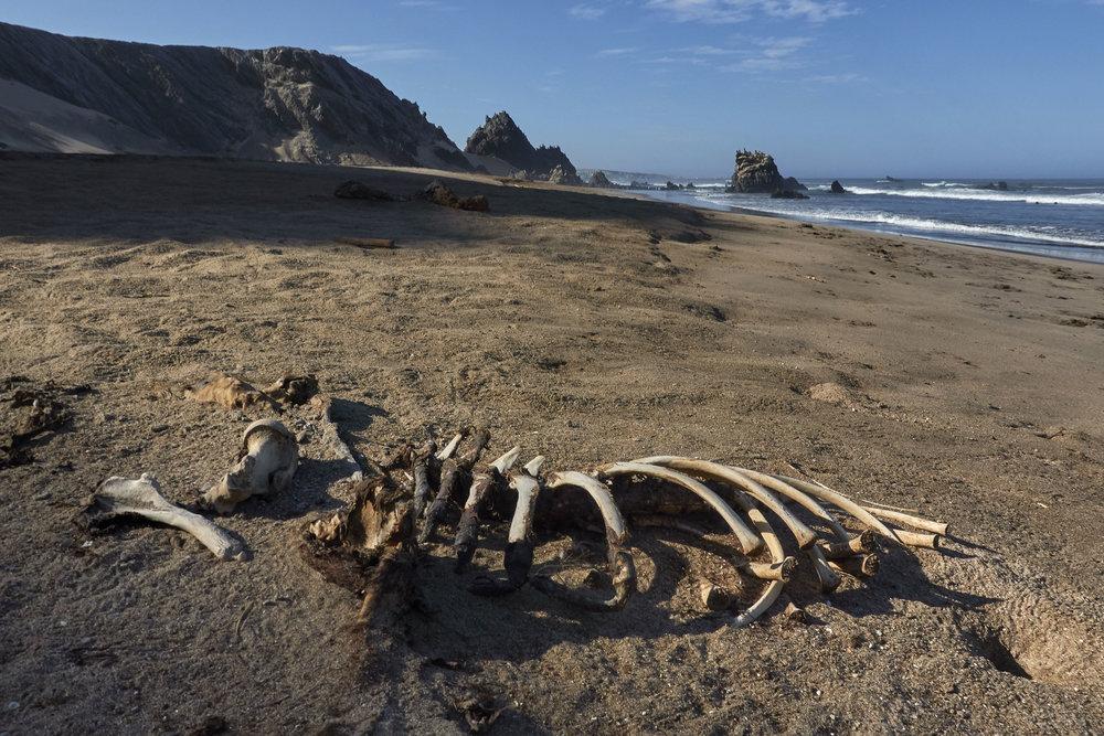 Sea lion skeleton