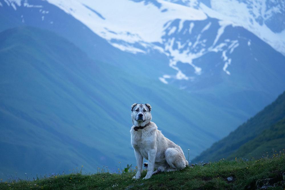 Svaneti-dog-in-Ushguli-mountain-backdrop