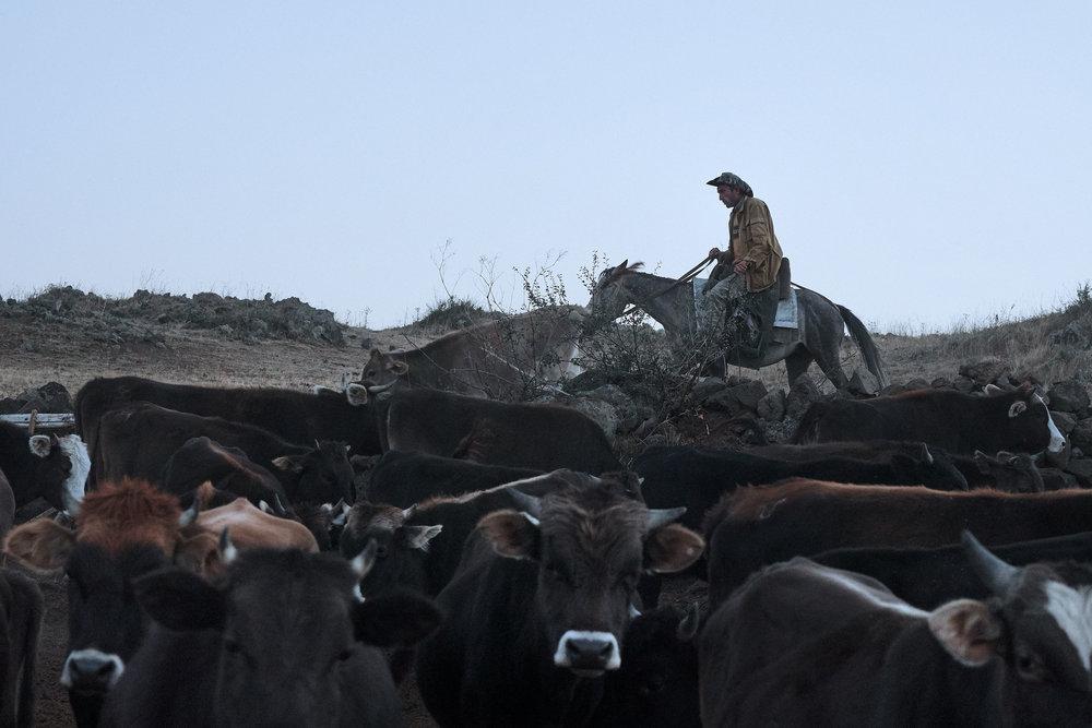 Armenia-Vayots-Sar-shepherd-getting-cows-in-on-a-horse.JPG