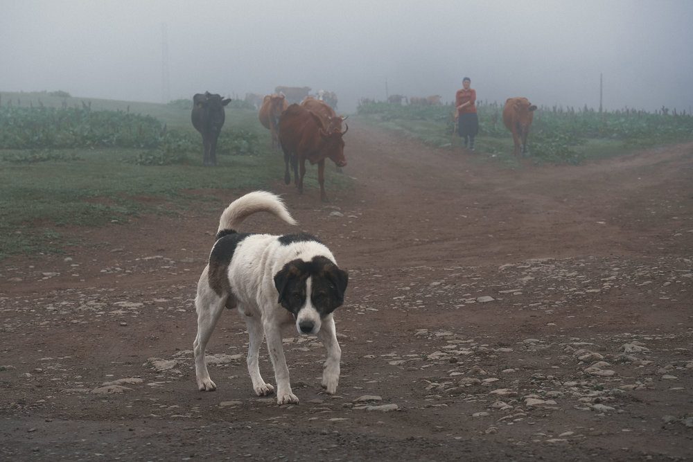 Dog walking in front of cows in Bakhmaro