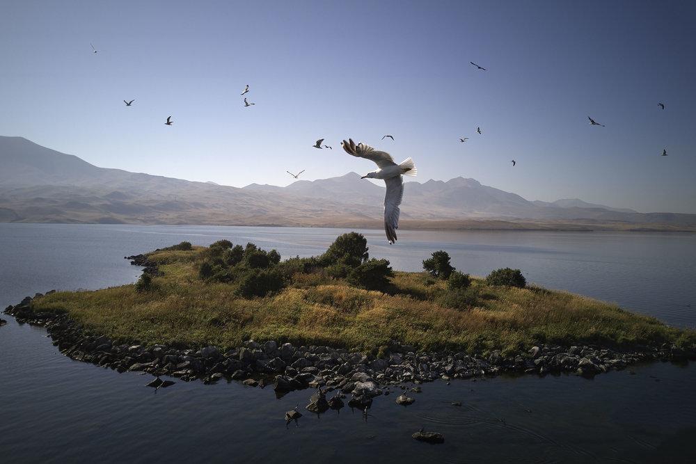 Seagull flies over an island on Tabatskuri Lake .JPG