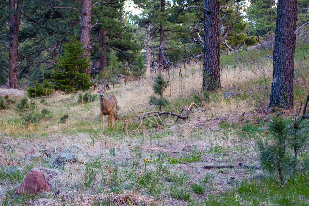 Mule Deer at Shanahan Ridge