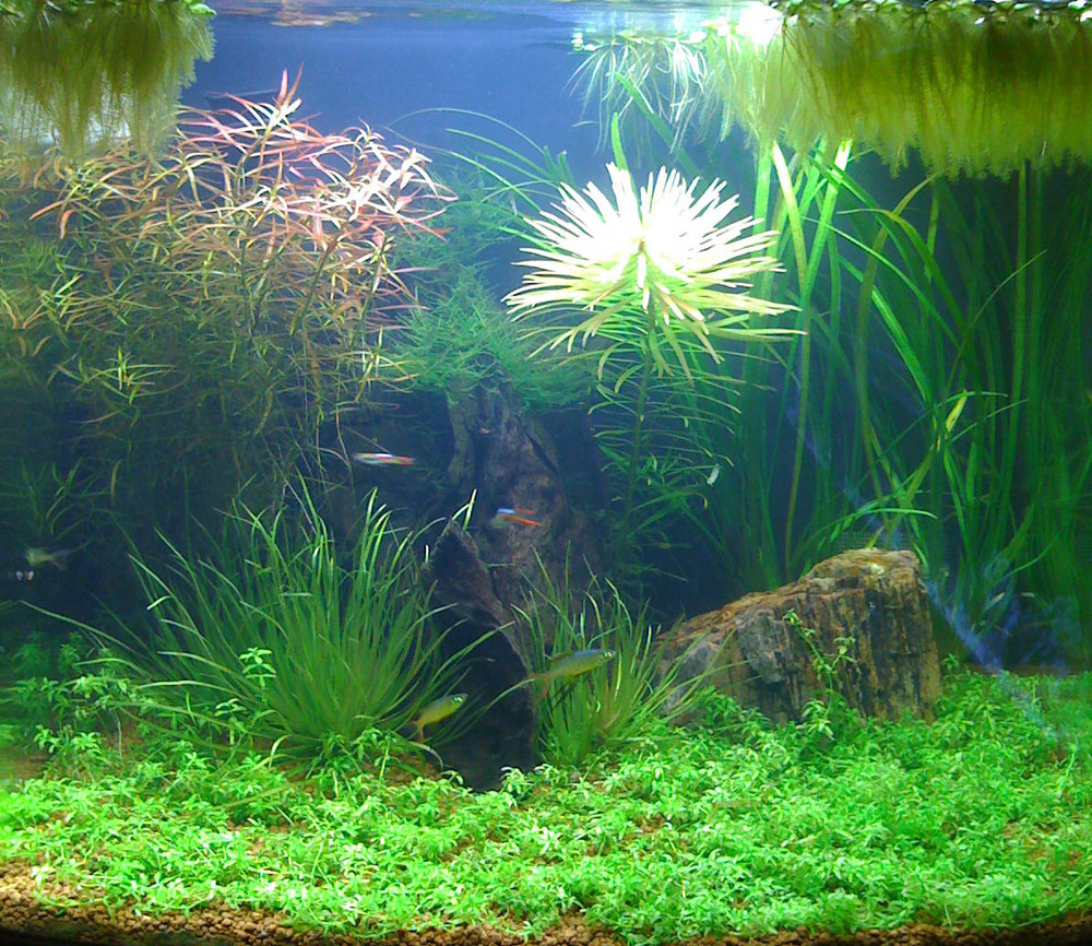 Freshwater fish tank live plants - Live Plants In Your Freshwater Aquarium
