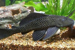 Hypostomus plecostomus (Common Pleco)
