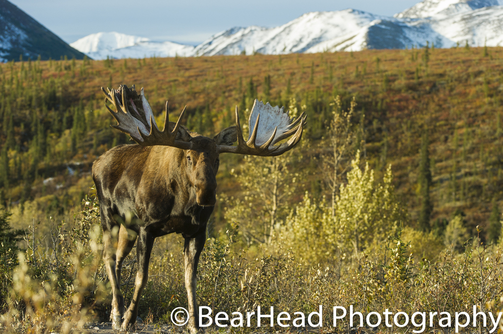 A large bull moose moves in the changing fall tundra.