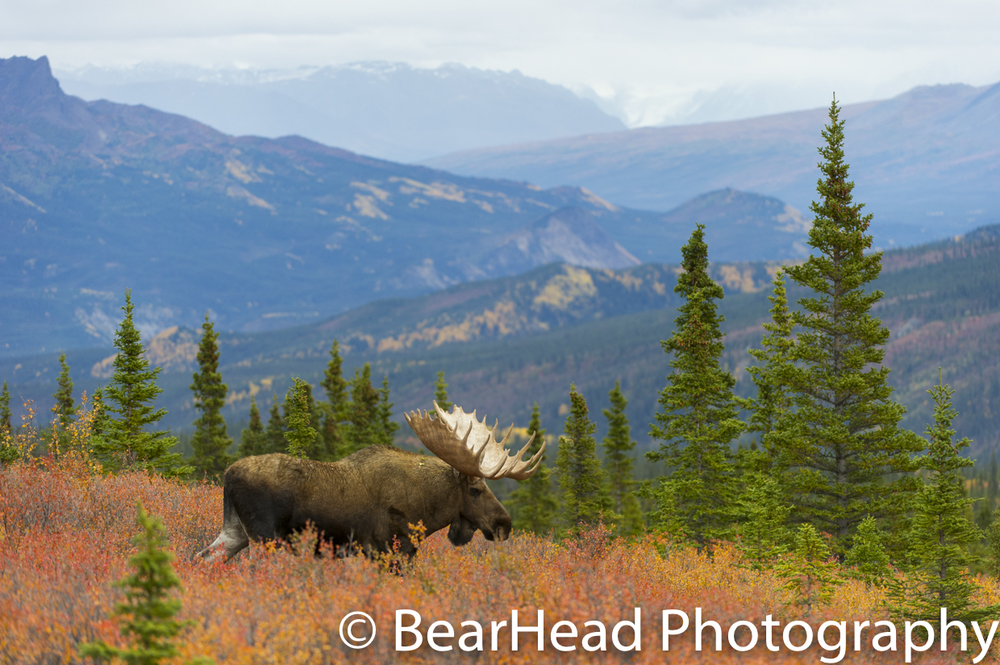 A bull moose overlooks his far reaching territory in the fall.