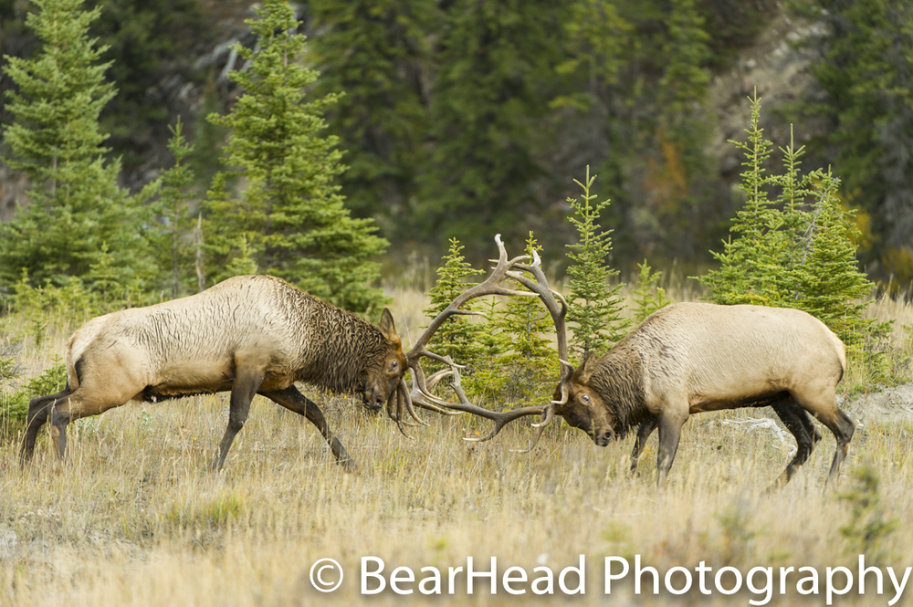 Two large bull elk battle for the right to mate.