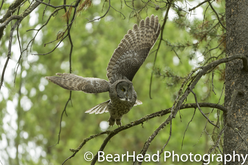 A great grey owl takes off from high up in a tree.