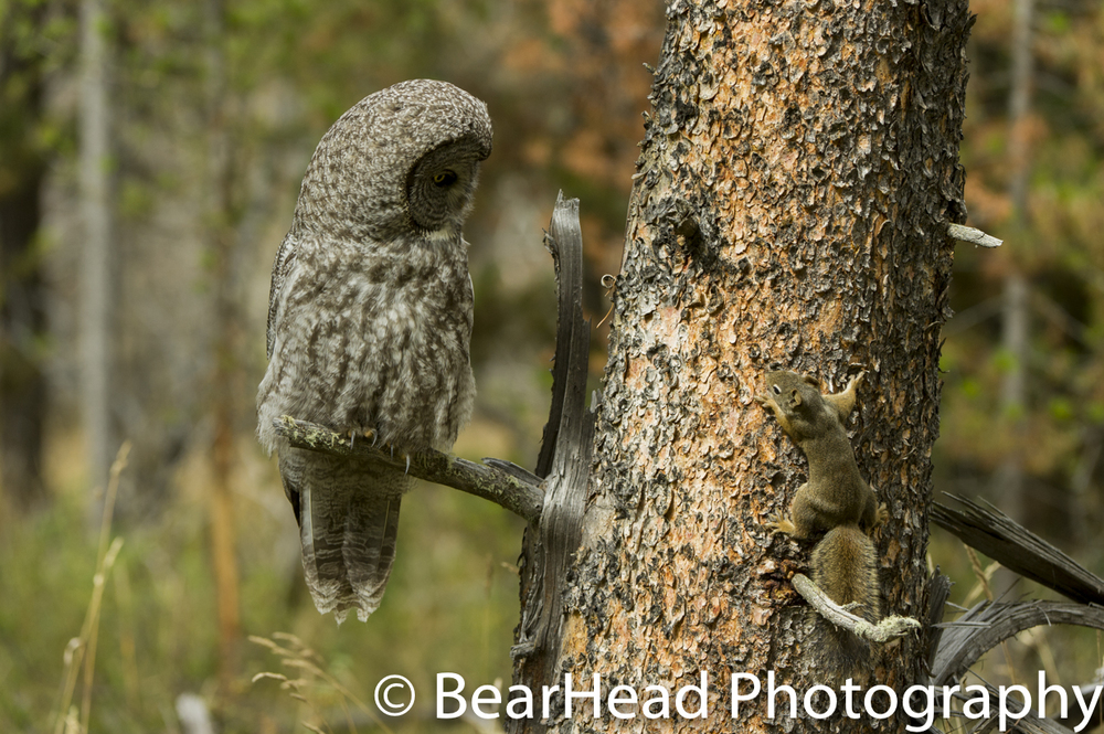 A great grey owl stares down a squirrel.