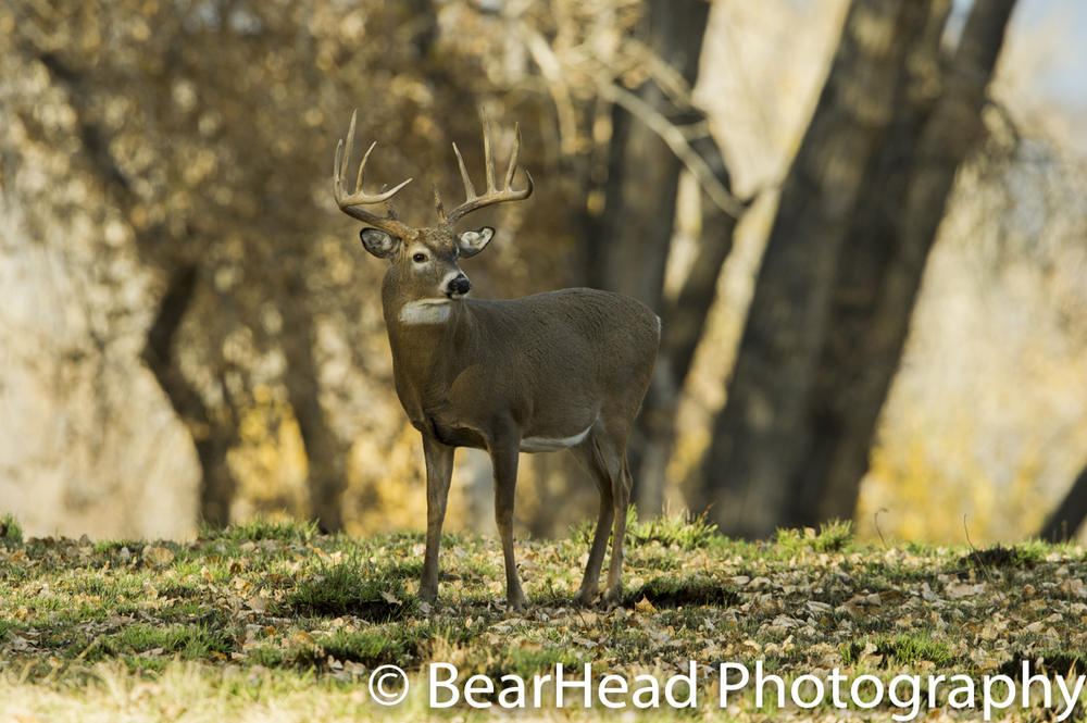 A large whitetail deer looks over his shoulder at another buck in the area.
