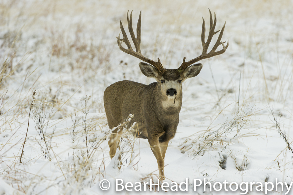 A wide mule deer walks through the snow as he stays on the move looking for females.