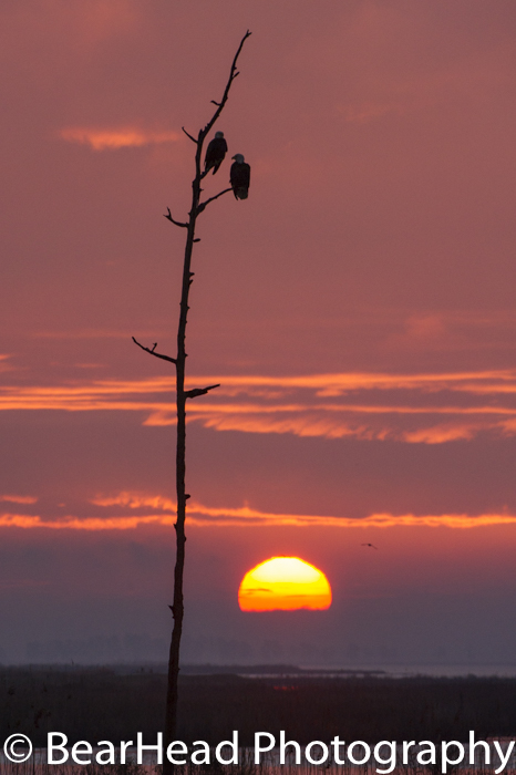 Two bald eagles sit on a dead tree as the sun rises across the marsh.