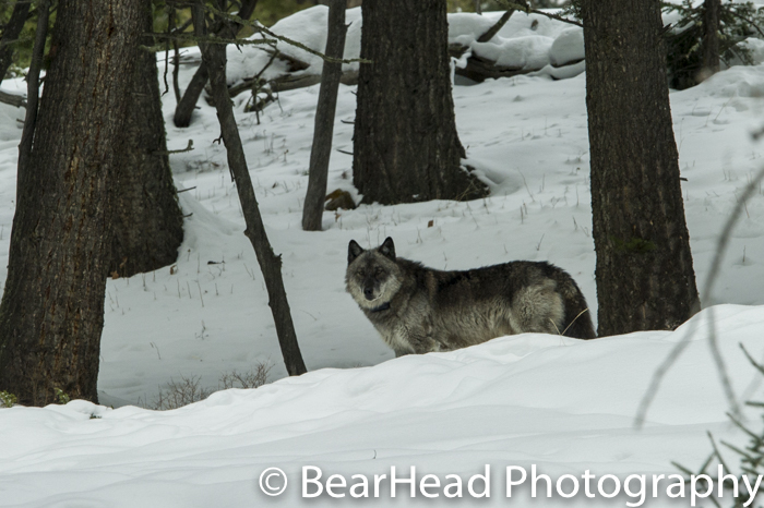 A black wolf checks me out in the snow.