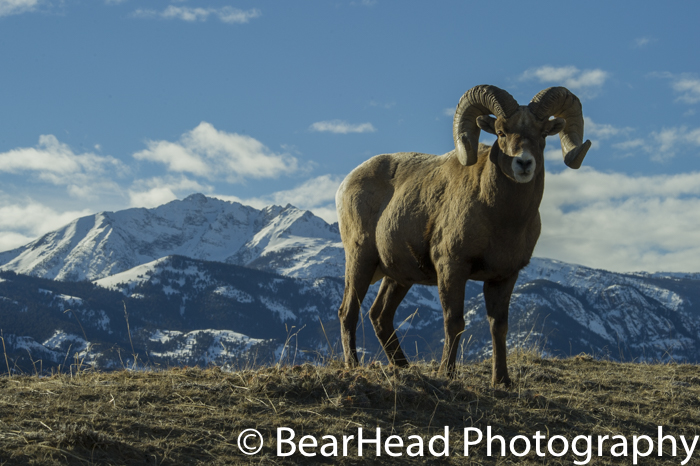 A full curl ram stands proudly on a ridge with Electric Peak behind him.