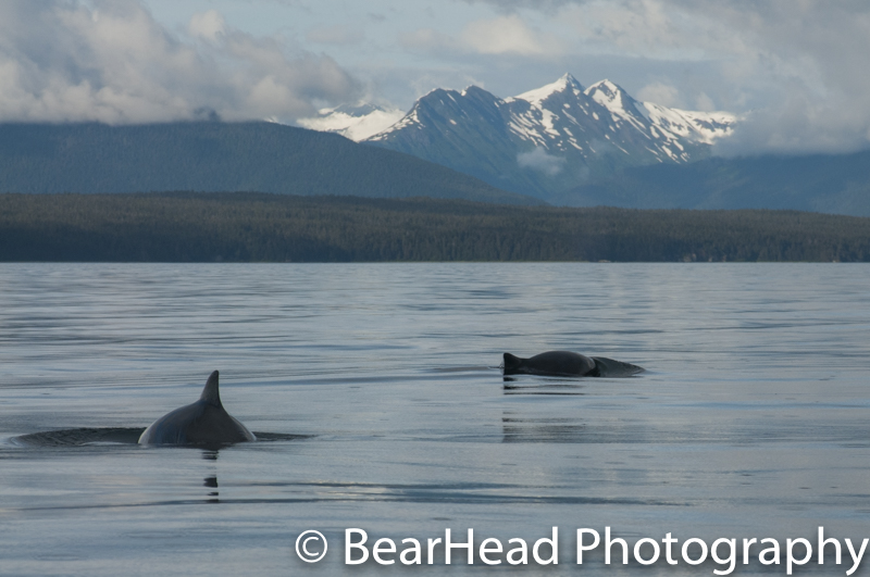 Porpoises swimming on a beautiful evening.