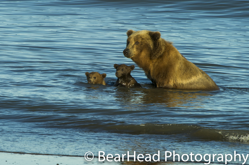 Mother and her her spring cubs playing in the ocean late in the evening.
