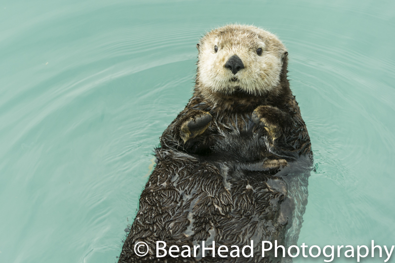 A young sea otter rests on its back and looks at me curiously.