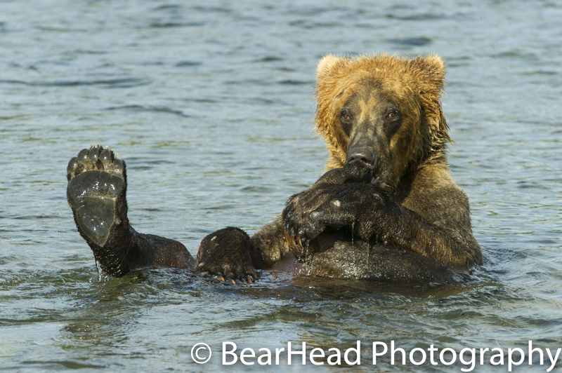 A grizzly bear relaxes in the river to cool off.