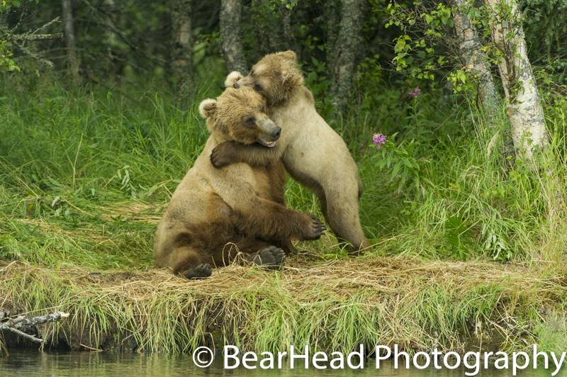 The mother and cub I proposed in front of play wrestle along the river.