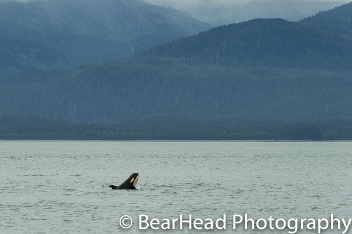 A baby orca breaches.