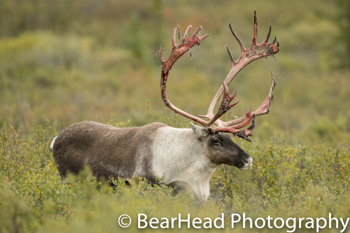 A caribou has very red antlers after shedding his velvet.