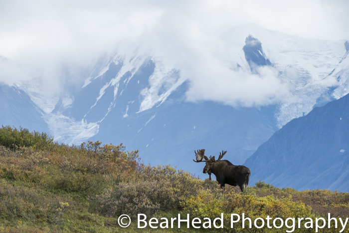 A decent sized bull moose on a ridge.