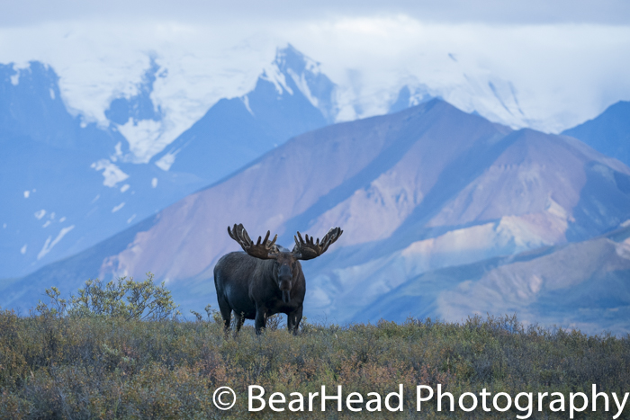 A large sized moose on a ridge in the evening.
