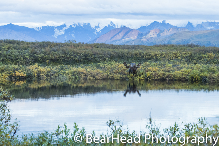 The large bull moose eats in the pond directly across from me.