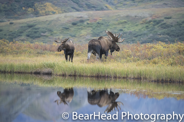 A large and small bull moose hang by a pond and have a perfect reflection.