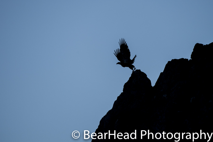 An eagle takes off from a cliff at last light.